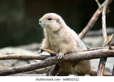 Marmot holding a branch
