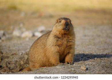 Marmot at Leh Ladakh (on the way to Pangong lake)
