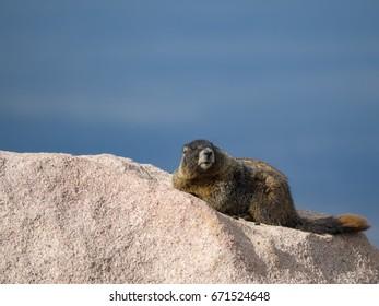 Marmot life