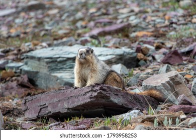 Marmot looking in Glacier National Park