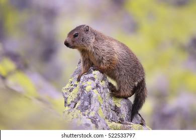 Marmot (Marmota marmota) in natural habitat