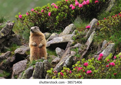 Marmot (marmota marmota) standing in a natural alpine garden of rhododendron (Rhododendron hirsutum) flowers, grass and rocks, close to its den