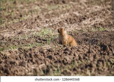 Marmot, maus, ground squirrel and burrows in the field.