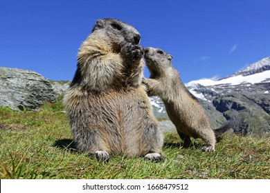 A marmot mother with her curious marmot baby in the high mountains of Austria