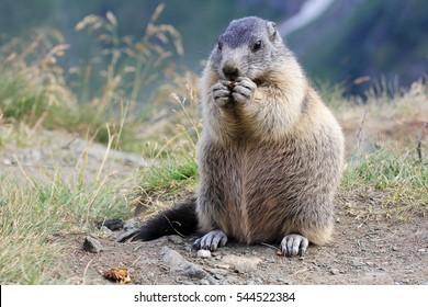marmot  in the mountain