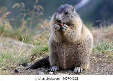 A marmot in the mountains. A marmot eats a nut