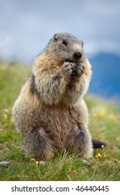 A marmot near the Gross?glockner mountain in Austria.