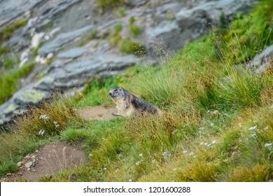 Marmot on the grass near Grossglockner High Alpine Road In Austria