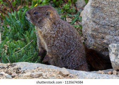 A marmot on Moutn Evansw, Colorado