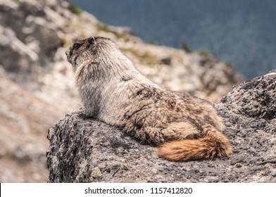 Marmot on the rock.