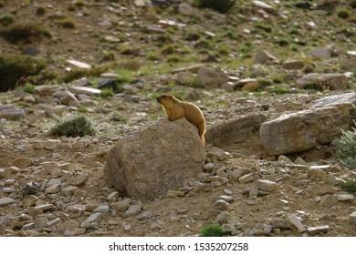 Marmot on a rock dialling Sun in Leh, Himalayas