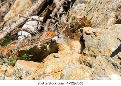 Marmot on rock under sun
