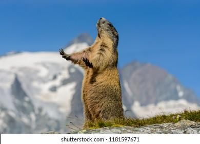 A marmot posing in front of a snowy mountain scenery in Austria