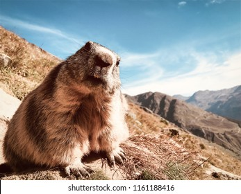 marmot with questioning look