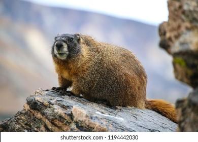 Marmot in the Rockies, Colorado