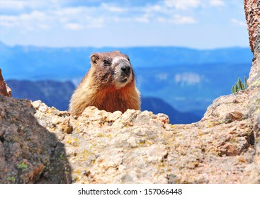 Marmot, Rocky Mountains USA