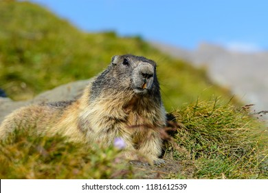 A marmot sitting in a green meadow