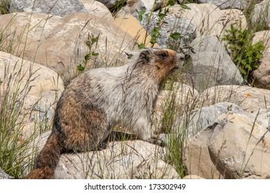 Marmot sitting on a rock in the sun