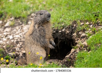 Marmot standing near its burrow in Val di Fassa (Trentino)