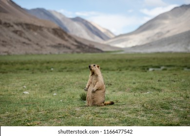 Marmot standing on green grass in highland plateau with mountain, sky and cloud in background in area of Pangong lake, Leh Ladakh, India