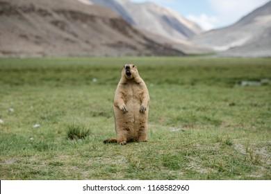 Marmot standing roar