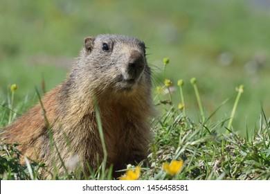 Marmot in Stelvio National Park - Italy