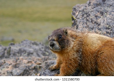 Marmot upclose in Rocky Mountain National Park