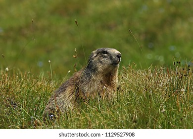Marmot watch on a grassy mountain