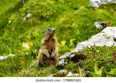 a marmot is watching us. in the alps between Austria and Switzerland looks the marmots for quiet. holiday in the valley of Gaden. summer day in the mountains.