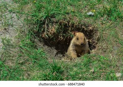 Marmots in leh ladakh