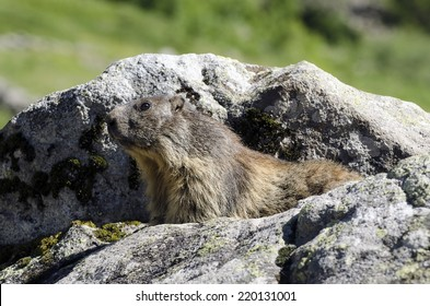 Marmotte in the French Alps close to Grenoble
