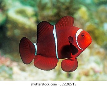 Maroon Clownfish | Maroon Clownfish Images Stock Photos Vectors Shutterstock