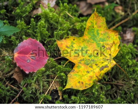 Maroon colored beech leaf next to maple leaf, over a bed of fresh green moss at autumn on forrest floor
