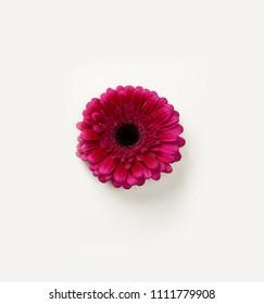 MAROON GERBERA FLOWER