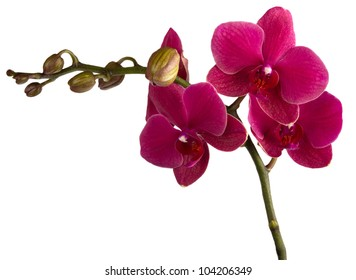 maroon orchid isolated on a white