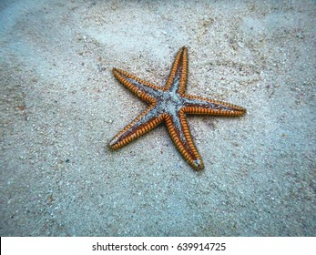 Maroon small Starfish with needle-like tentacles at the bottom of the Caribbean Sea sprinkled with snow-white sand