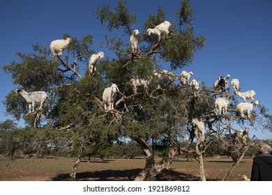 MARRAKECH, MOROCCO - Feb 03, 2020: The argan tree is important to the economy of the region  It bears a fruit from whose seed argan oil is extracted, highly valued for its properties by