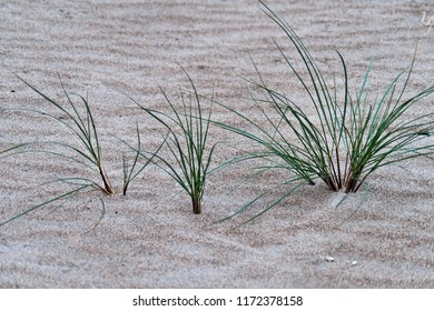 Marram grass / beachgrass at the beach at the coastline in South-east of Ireland