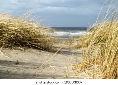 Marram grass in the dunes of the North Sea.