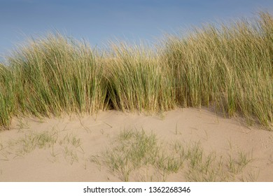 Marram grass on the Gower coast at Whiteford beach on the Gower peninsula, Swansea, South Wales, UK