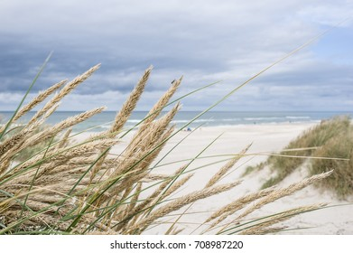 Marram grass on sand dunes, North Sea