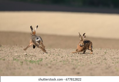 Marriage games. Two wild European hares run around the plowed field. Hare (Lepus Europaeus) in the mating season. Running hare through the fields