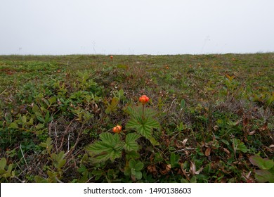 A marsh or barren land filled with bakeapple bushes. The bright orange berries are throughout the tundra. The background is grey cloudy sky.