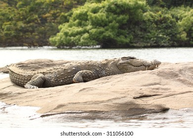 Marsh Crocodile Resting over rock , this image is photographed in Crocodiles natural habitat at kaveri river , South India