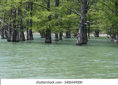 Marsh cypresses on lake Sukko, Anapa, Russia.