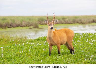 Marsh Deer (Blastocerus dichotomus) in Ibera Wetlands, Argentina