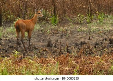 Marsh Deer in Brazilian Pantanal