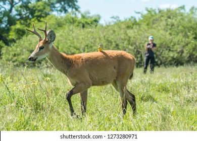Marsh deer in its favorite ambient: the wetlands of Iberá National Park in Corrientes Province and Pantanal of Brazil,