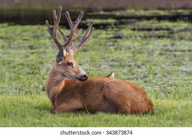 Marsh Deer - Pantanal, Brazil