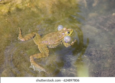 Marsh frog (Pelophylax ridibundus) swimming with inflated vocal sacs. ( In switzerland)